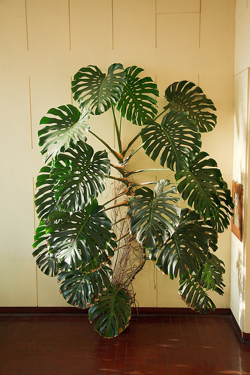 openhouse-magazine-my-favourite-plant-monstera-deliciosa 2